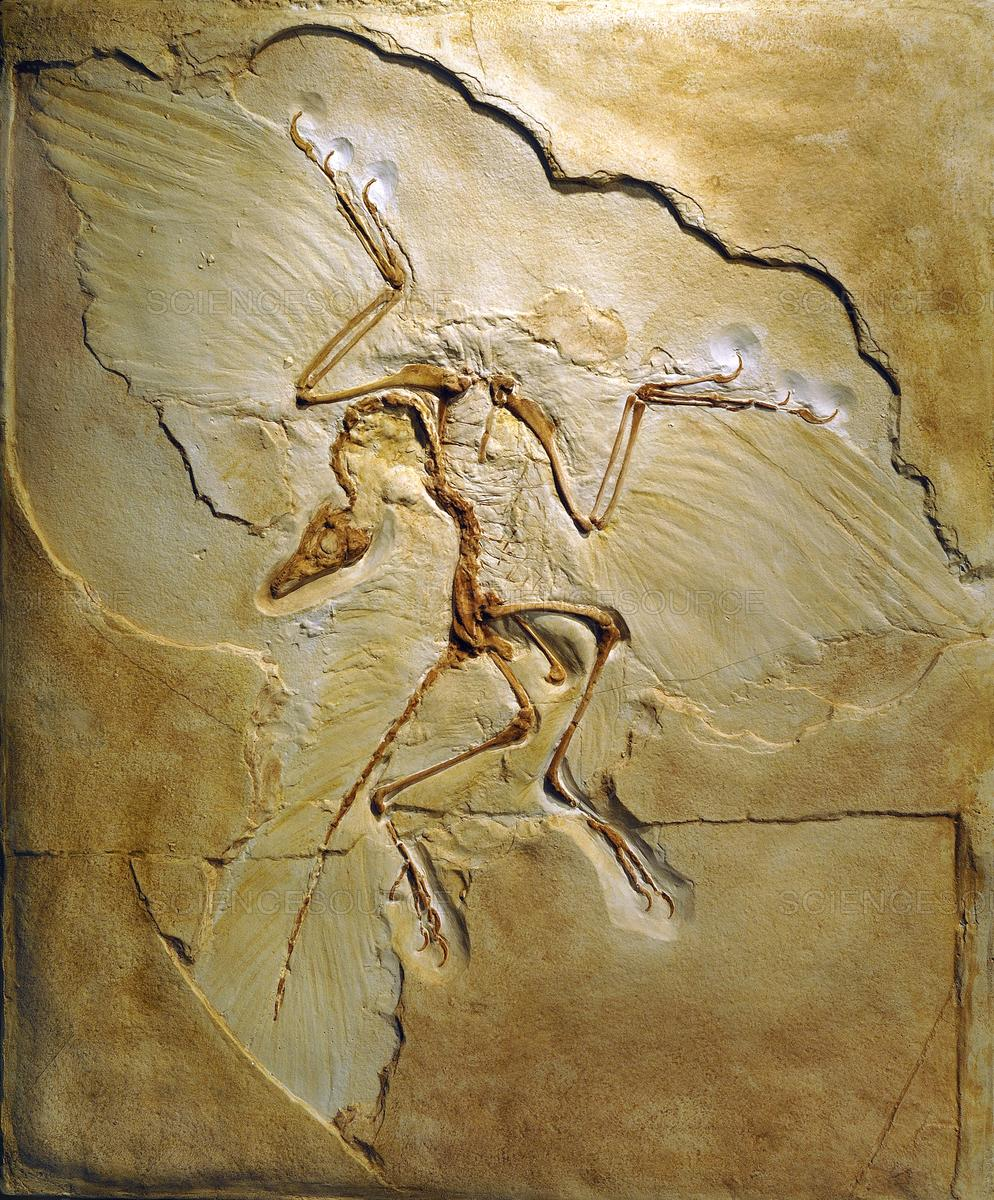 Science Source - Archaeopteryx fossil, Berlin specimen